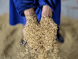 Solution for Pests Issue in Grain Safety Storage